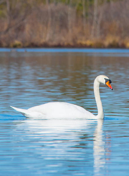 Swan Neck Photograph - Swan On A Lake by Parker Cunningham