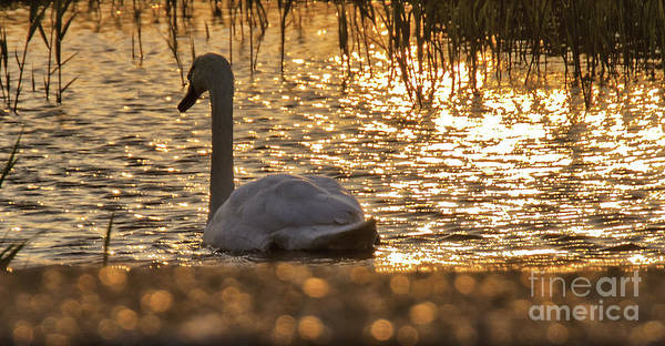 Swan Photograph - Swan On Gold  by Nigel Jones