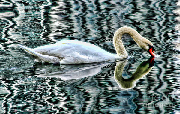 Photograph - Swan On Lake Eola By Diana Sainz by Diana Raquel Sainz