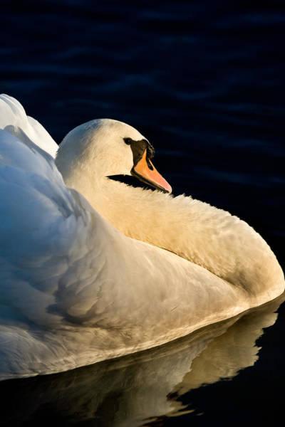 Swan On Lake Art Print