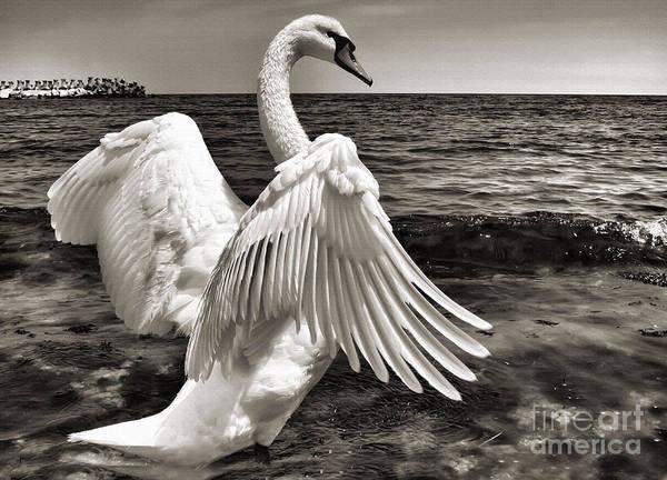 Photograph - Swan On The Black Sea Shore by Daliana Pacuraru