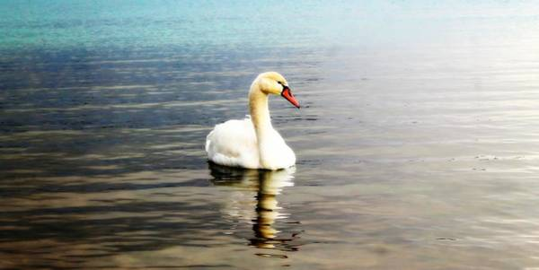 Photograph - Swan by Rebecca Frank