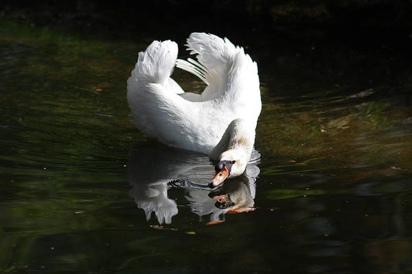 Photograph - Swan Reflection by Jean Clark