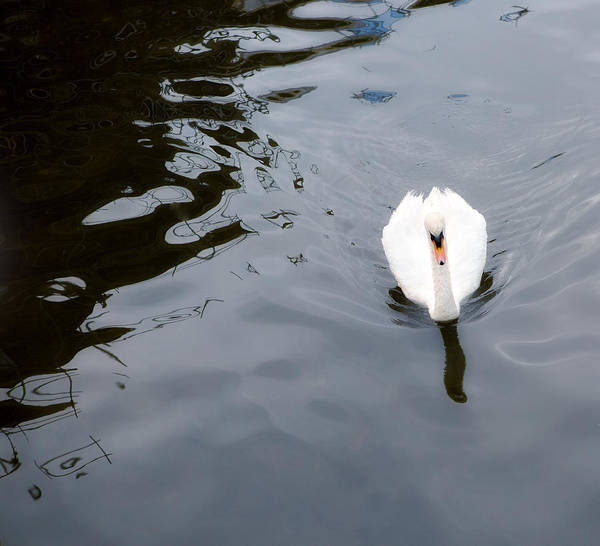 White Swan Photograph - Swan Song by Rebecca Cozart