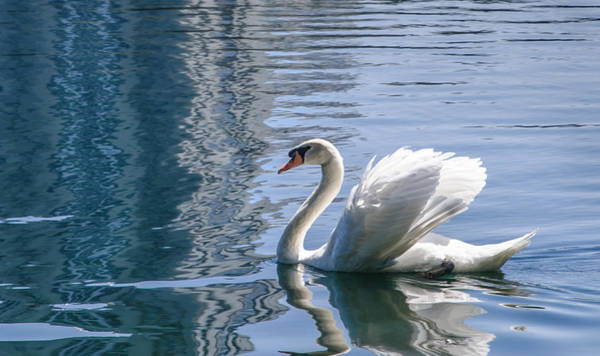 Photograph - Swan by Steven Sparks