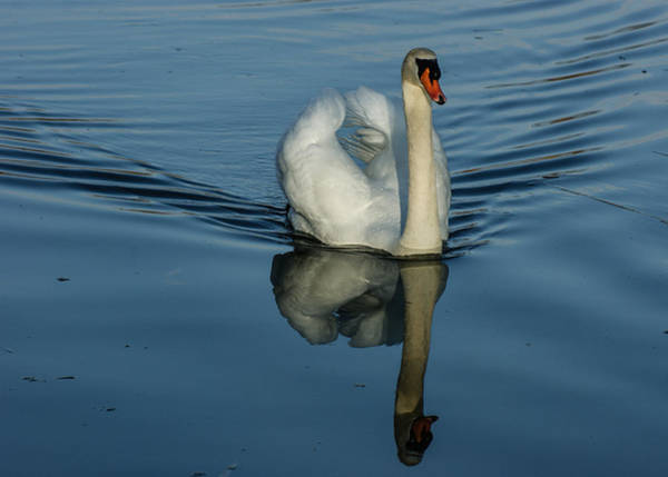 Photograph - Swan Symmetry -  Graceful Cygnus Olor by Georgia Mizuleva