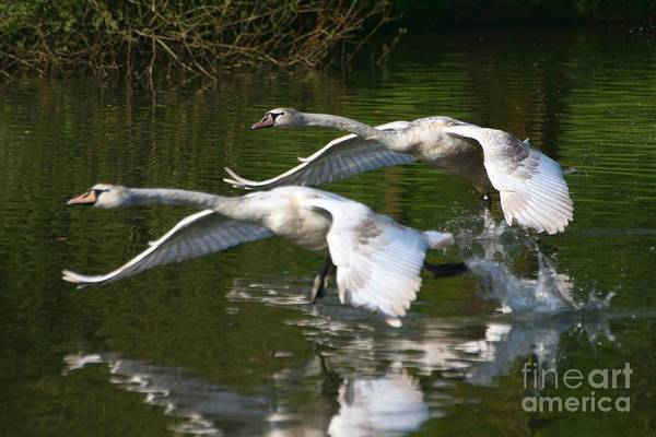 Photograph - Swan Take-off 2 by Jeremy Hayden