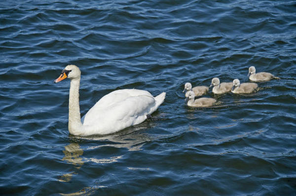 Cygnet Wall Art - Photograph - Swan With Its Cygnets Swimming by Animal Images