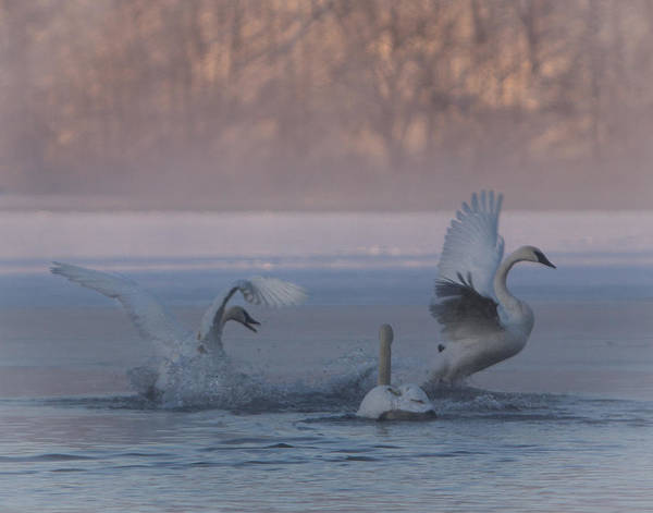 Photograph - Swans Chasing by Patti Deters