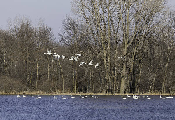 Wall Art - Photograph - Swans Continue Their Long Journey by Thomas Young