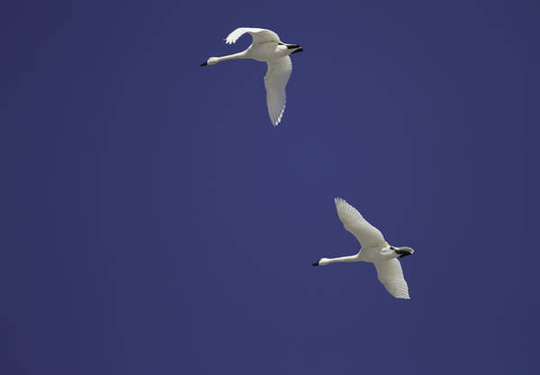 Wall Art - Photograph - Swans Flying In Blue Skies by Thomas Young