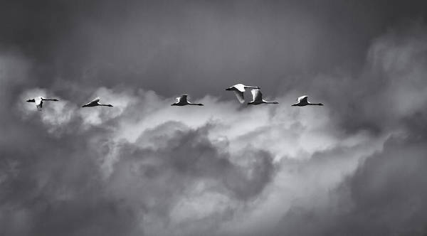 Wall Art - Photograph - Swans Flying With The Storm by Thomas Young