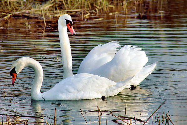 Photograph - Swans by Gary Heller