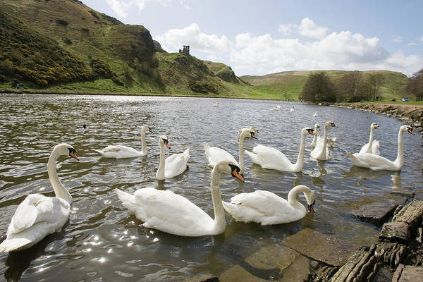 Holyrood Photograph - Swans by Gustoimages/science Photo Library