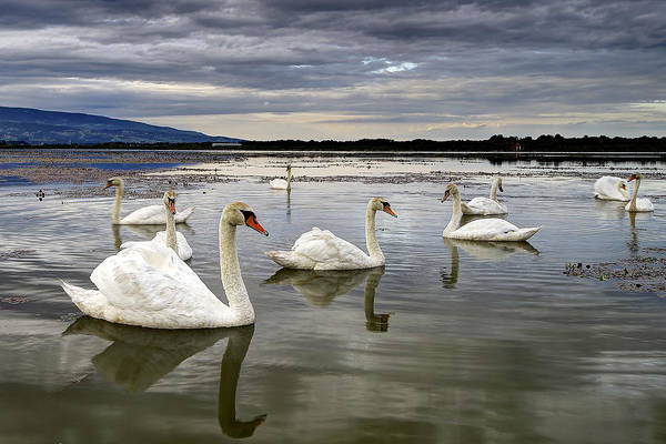 Photograph - Swans by Ivan Slosar