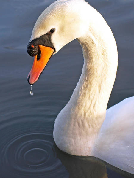 Swan Neck Photograph - Swans Neck by Gill Billington