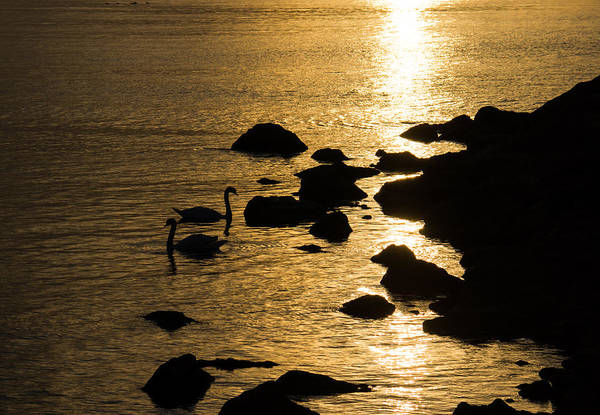 Photograph - Swans On Liquid Gold by Georgia Mizuleva
