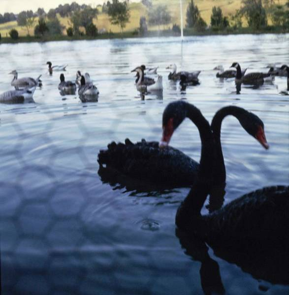 Wall Art - Photograph - Swans On Mary Woodard Lasker's Pond by Horst P. Horst