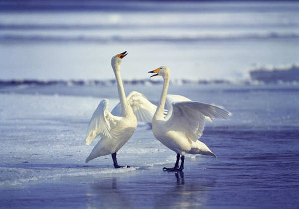Swan Neck Photograph - Swans On The Beach by Animal Images