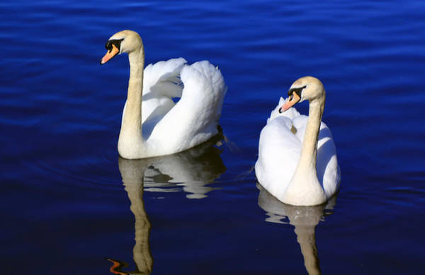 Photograph - Swans On The Lake by Jennifer Robin