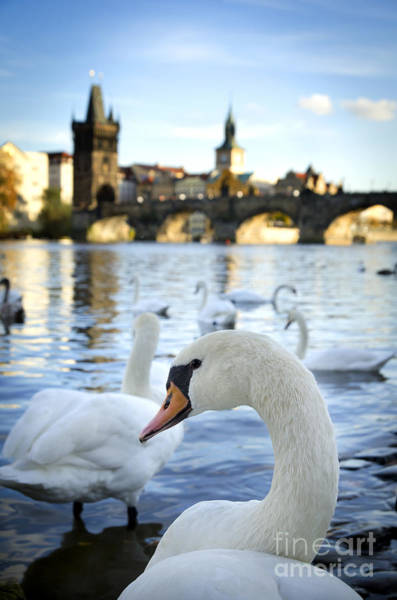 Wall Art - Pyrography - Swans On Vltava River by Jelena Jovanovic