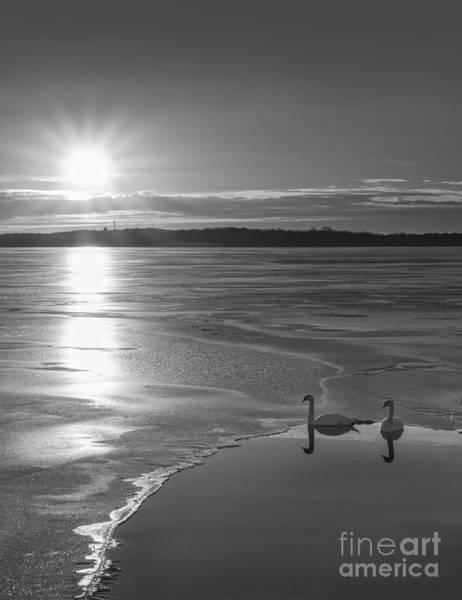 D800 Photograph - Swans Sunrise Bw by Michael Ver Sprill