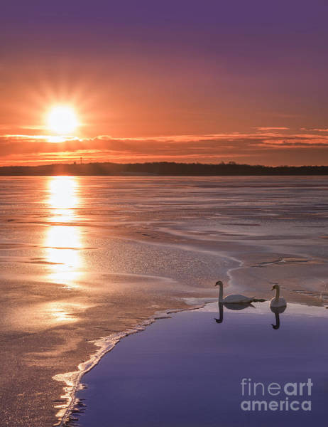 Warming Up Wall Art - Photograph - Swans Sunrise by Michael Ver Sprill