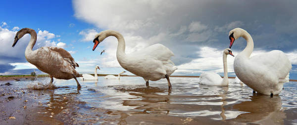 Wall Art - Photograph - Swans Wading In The Shallow Water  Holy by John Short