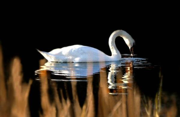 Swan Neck Photograph - Swan River by Diana Angstadt