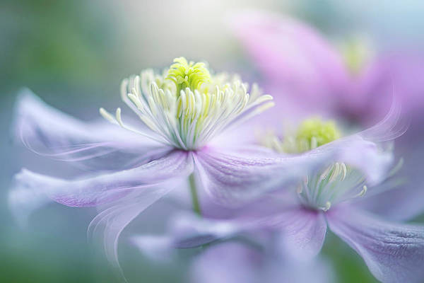 Clematis Wall Art - Photograph - Sway by Jacky Parker