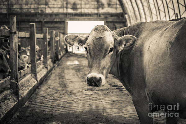 Dairy Cows Photograph - Sweet Alfalfa by Edward Fielding