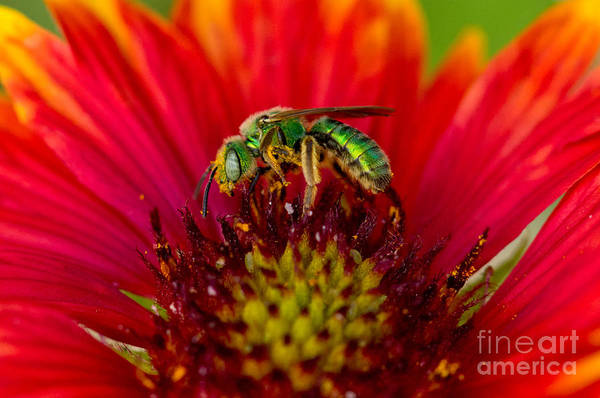 Photograph - Sweat Bee Collecting Pollen by Anthony Mercieca