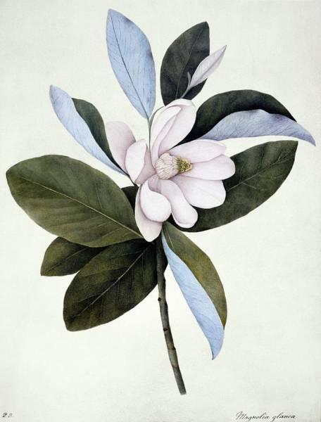 Wall Art - Photograph - Sweet Bay (magnolia Virginiana) by Natural History Museum, London/science Photo Library