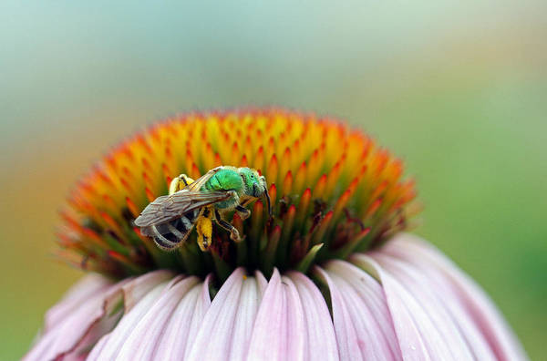 Photograph - Sweet Bee by Juergen Roth