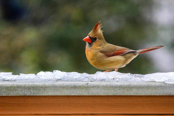 Photograph - Sweet Bird by Karen Saunders