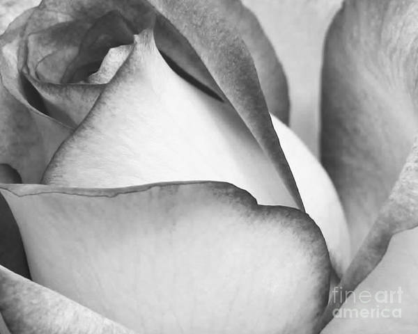 Photograph - Sweet Black And White Rose  by Sabrina L Ryan