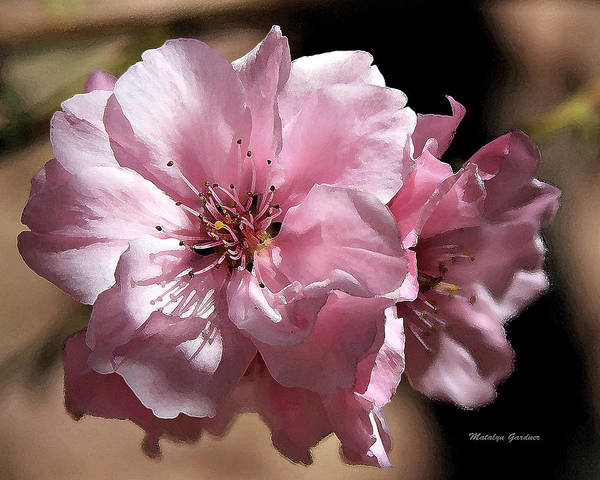 Photograph - Sweet Blossoms by Matalyn Gardner