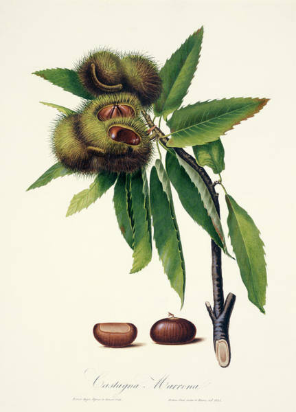 Dicotyledons Photograph - Sweet Chestnut by Natural History Museum, London