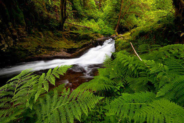 Photograph - Sweet Creek Ferns by Andrew Kumler