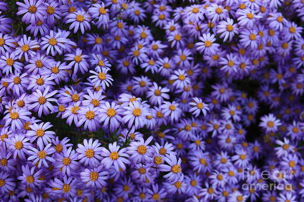 Photograph - Sweet Dreams Of Purple Daisies by Carol Groenen