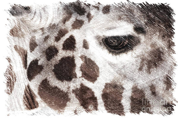 Photograph - Sweet Giraffe  by Carol Groenen