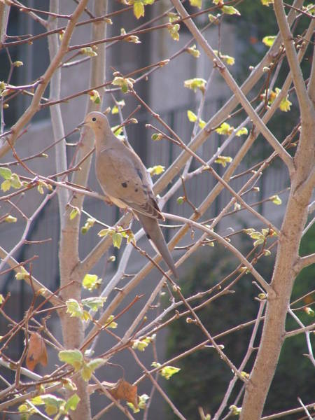 Wall Art - Photograph - Sweet Gum And A Dove by Alissa Beth Fox