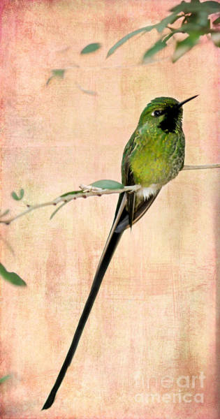 Photograph - Sweet Long Tailed Hummingbird by Sabrina L Ryan