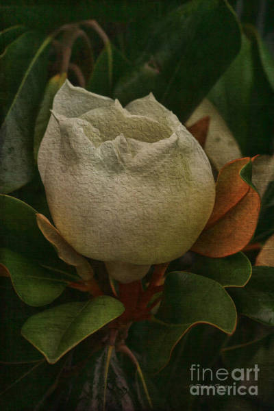 Photograph - Sweet Magnolia by Deborah Benoit