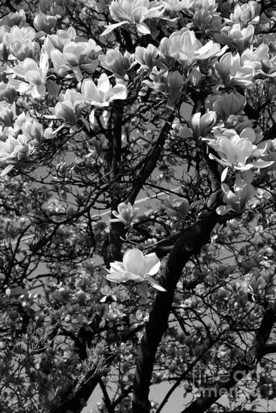 Photograph - Sweet Magnolia  by Frank J Casella