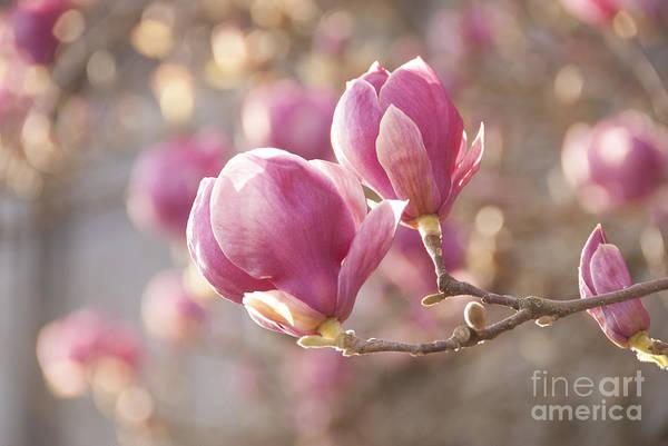 Wall Art - Photograph - Sweet Magnolia by Juli Scalzi