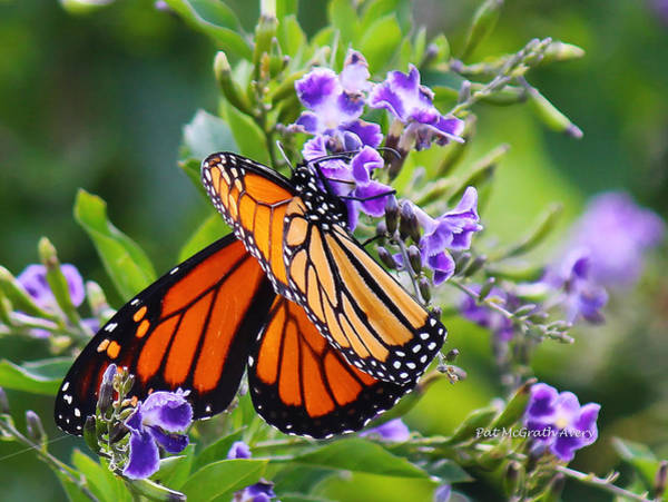 Photograph - Sweet Nectar by Pat McGrath Avery