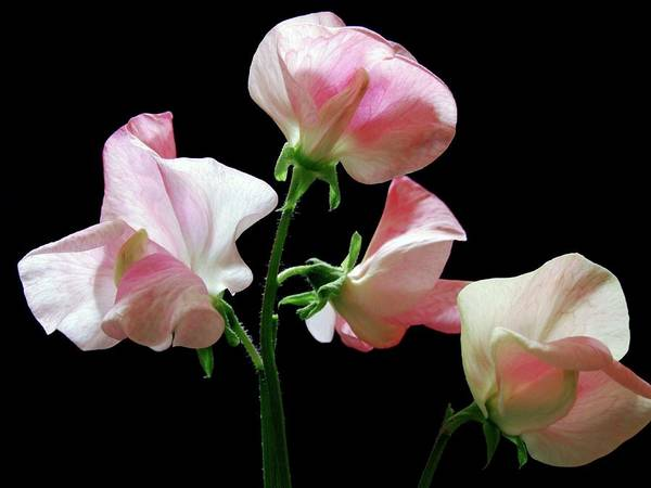 Alan Photograph - Sweet Pea 'alan Titchmarsh' by Ian Gowland/science Photo Library