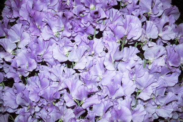 Wall Art - Photograph - Sweet Pea (lathyrus 'annie Conole') by Mrs W D Monks/science Photo Library