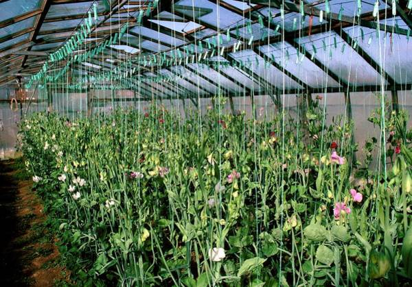 Glasshouse Photograph - Sweet Pea Plants In A Greenhouse by A C Seinet/science Photo Library